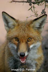 YP Fox Baiting